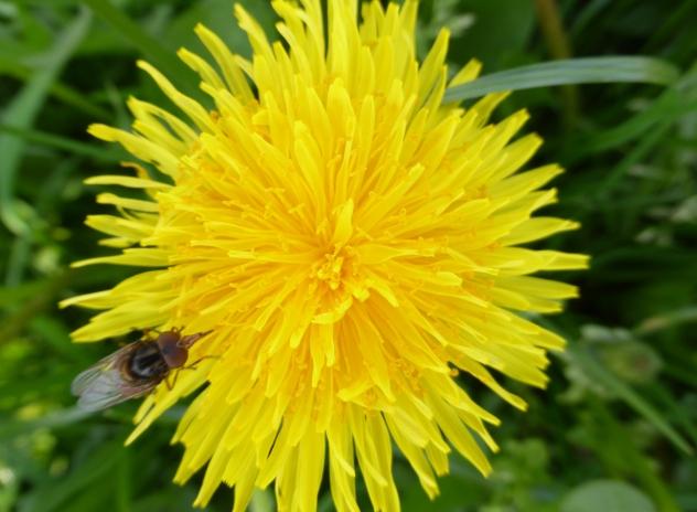 Dandelion in our garden